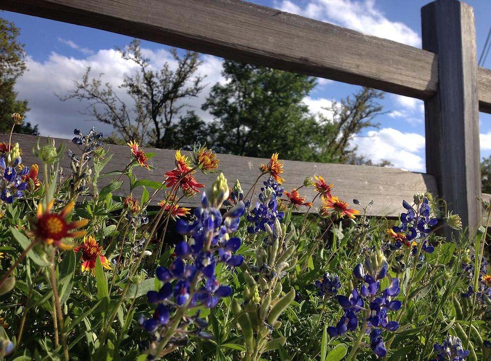 Brushy Creek Regional Trail Wildflowers