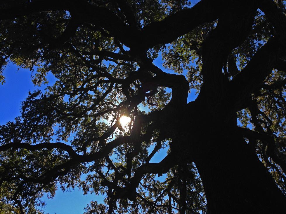 The Big Majestic Oak Tree Of Canyon Creek