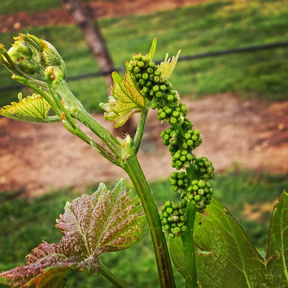 Springtime Texas Grapes