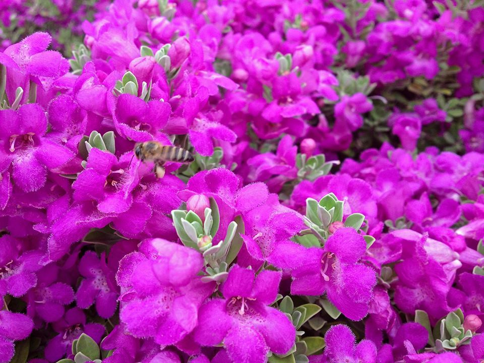 Texas Sage In Full Bloom By Home Style Austin