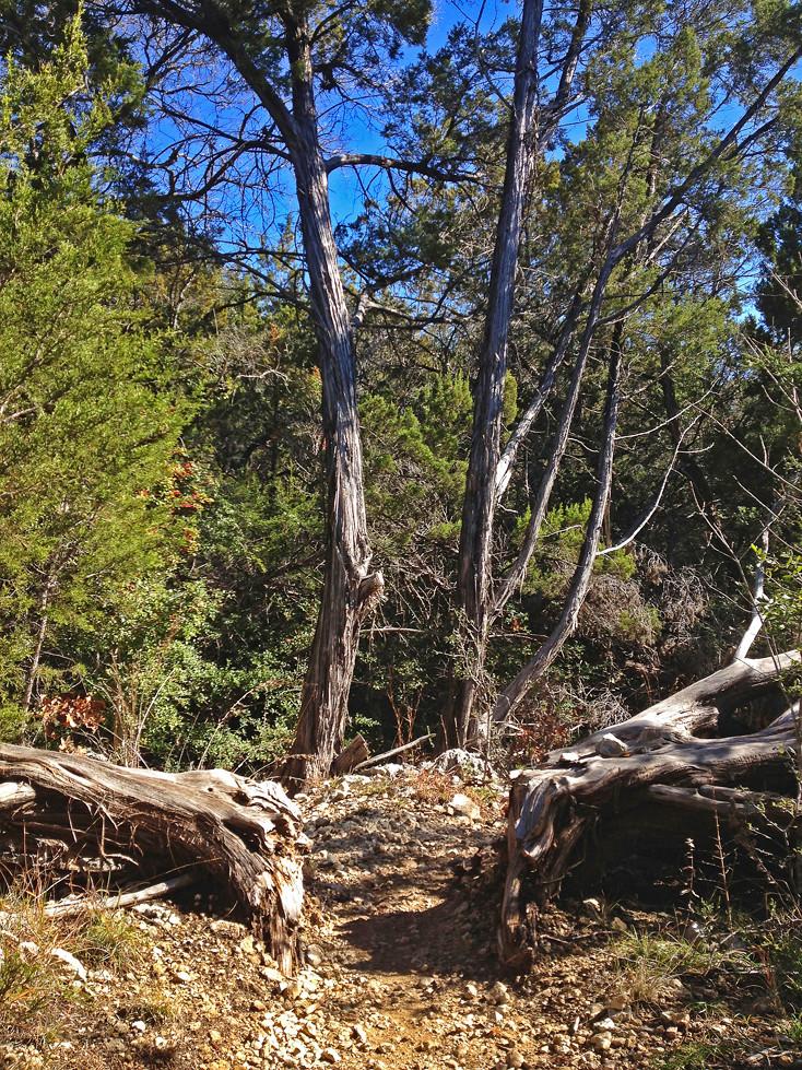 A Split Tree In Austin Texas