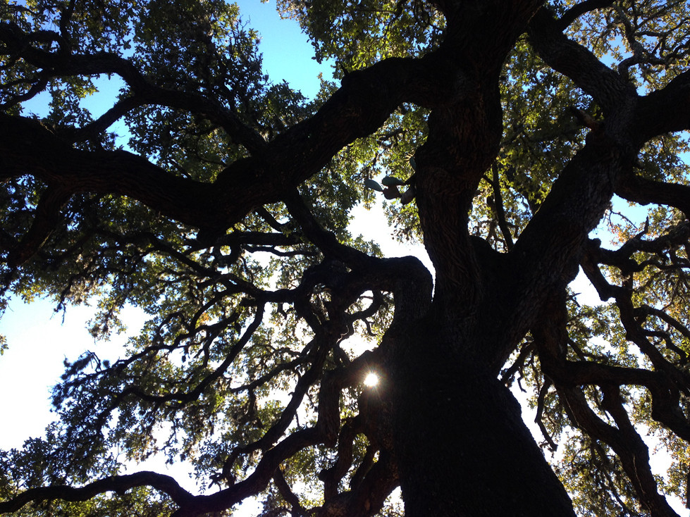 A Cactus Growing High Up In The Big Majestic Oak Tree Of Canyon Creek