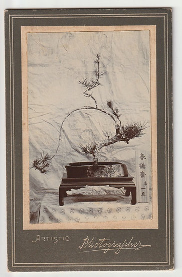 Early 20th century cabinet photograph of a bonsai tree