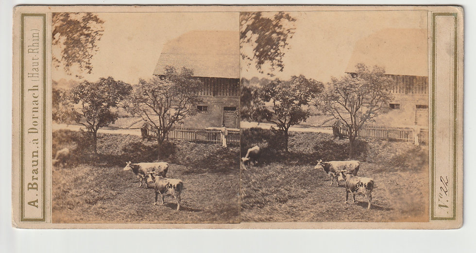 Stereoview of a pastoral scene with cows, Germany by Adolphe Braun. c1860/6