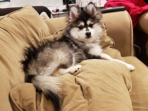 Georgia Pomsky Breeder, Georgia Pomsky Puppies