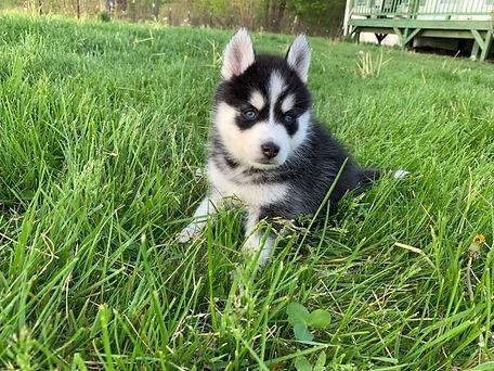 Pomsky puppy (Luna & Keeda 1st).jpg