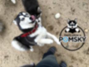 Georgia Pomsky Breeder. Georgia Pomsky Puppies