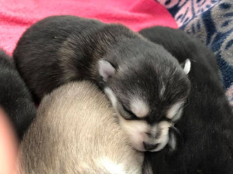 Georgia Pomsky Breeder, Pomsky puppies