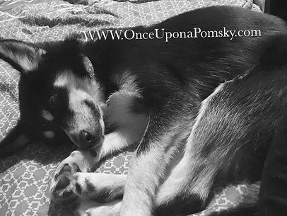 Pomsky Puppy, Black and white, Maine Breeder