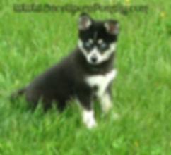 Pomsky Puppy, Maine Pomsky Breeder