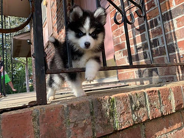 Georgia Pomky Breeder, Pomsky puppies Georgia