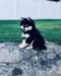 Georgia Pomsky Breeder, Georgia Pomsky Puppies