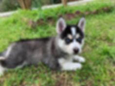 Georgia Pomky Breeder, Pomsky puppies Georgia