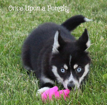Pomsky puppies, Maine, Pomsky puppies For sale