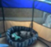 F1b Merle Pomsky puppy Maine