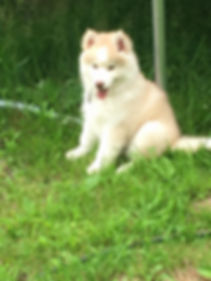 Red and white Wooly husky