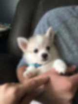 F1b Pomsky puppy
