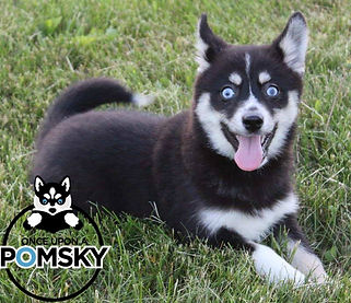Once Upon A Pomsky Puppies