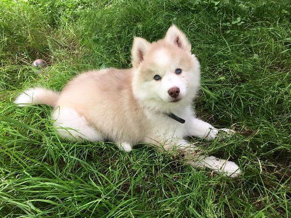 Red and White Wooly Husky Puppy