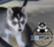 Grey Pomsky Puppy, Maine Pomsky Breeder