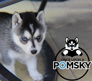 Grey Pomsky Puppy, Georgia Pomsky Breeder