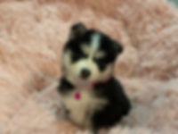 Georgia Pomsky Puppies, Pomsky breeder in Georgia