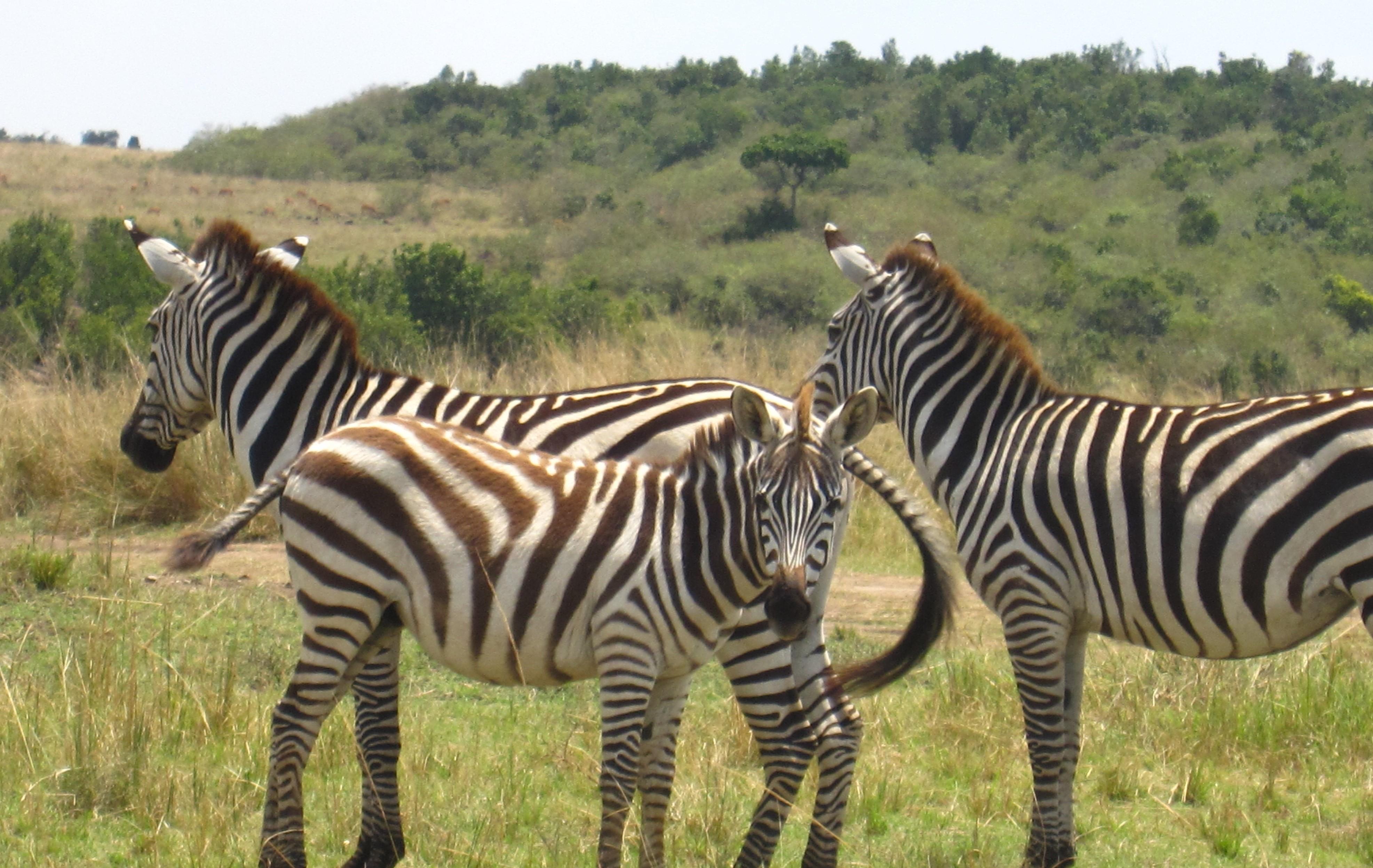 3-IMG_1137-zebra