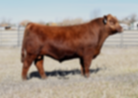 MR Coach 1296, crump red angus, bieber red angus, pieper red angus, outcross cattle, red angs bulls, red angus cattle, wyoming red angus