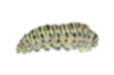 Metamorphose Momo - Stufe 0 - Raupe.png