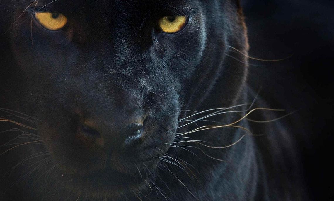 Panther image.JPG