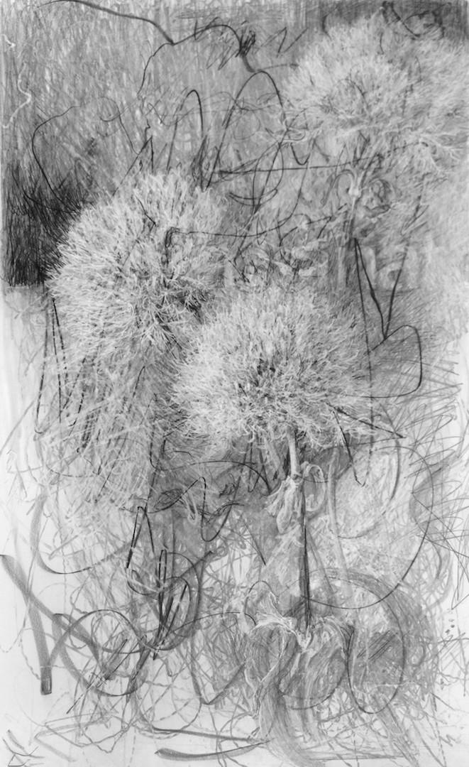 Dianthus Green, graphite on claybord, 19