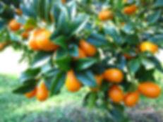 Ladybug Preserves Kumquat tree.jpeg