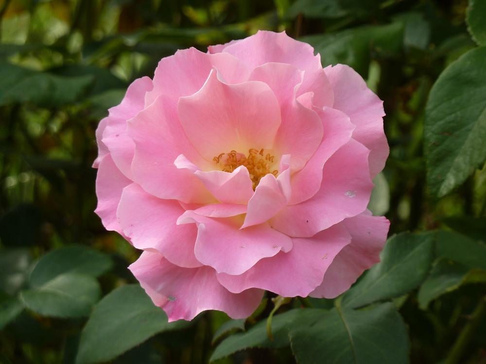 La rose symbole de l'amour
