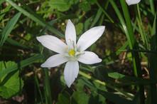 Star of Bethleem