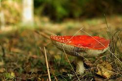 #Flyagaric #mushroom #forest #ashdownfor