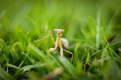 Fun praying mantis facts No.1_