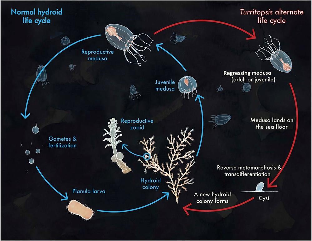 Turritopsis dohrnii ,Ölümsüz Denizanası'nın yaşam döngüsü. Tipik hidrozoan yaşam döngüsü mavi(solda) ile belirtilirken, T. dohrnii'nin alternatif yaşam döngüsü kırmızı (sağda) ile gösterilir.