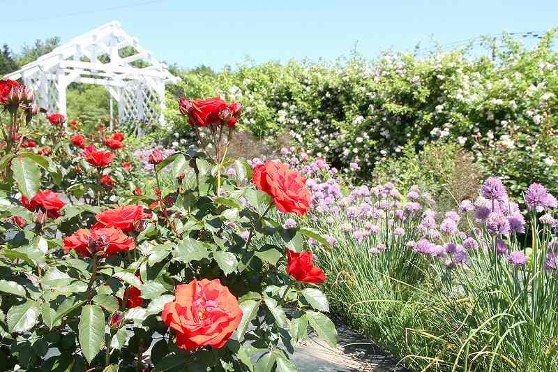 1・ 2 約600株のバラが咲き誇る(2019年、2020年)