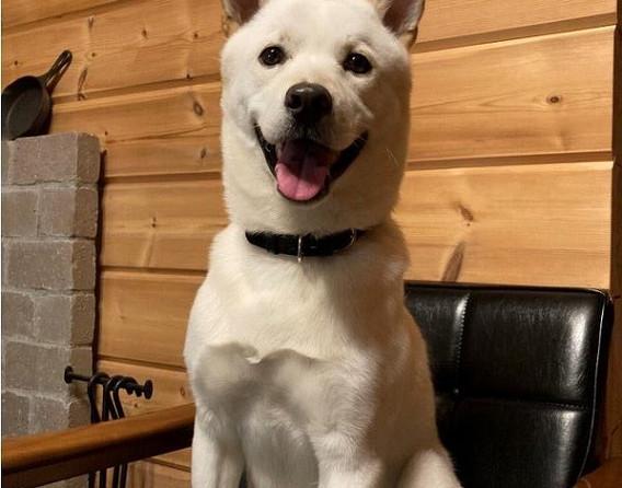 1 Hokkaido dog's pet dog Chop