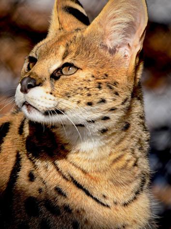 Serval 17w.jpeg