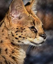 Serval 16w.jpeg