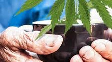 What's all the buzz about Marijuana?