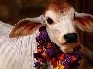 Cow Rearing (Gou Seva)