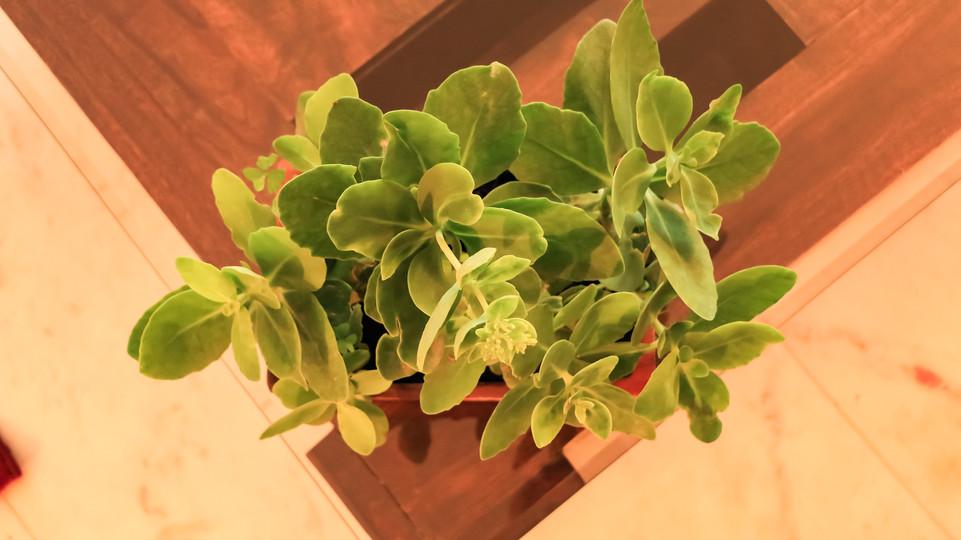 Bryophyllum