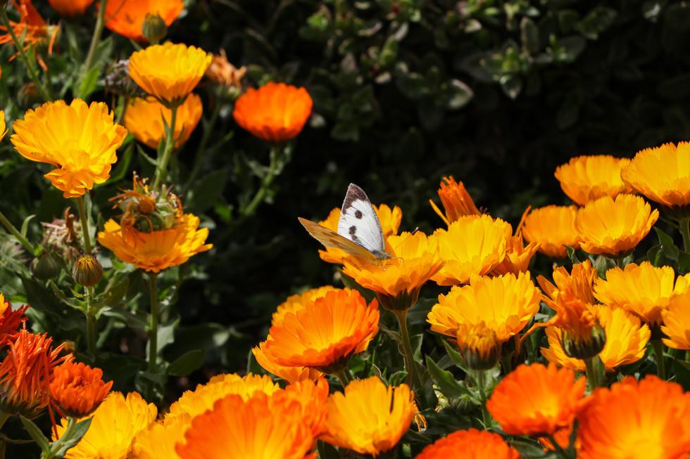 Calendulas in full bloom