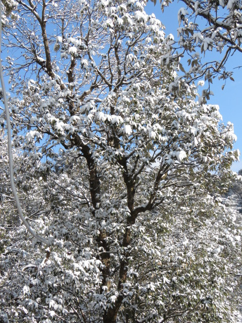 Snow laden branches of the oaks in the adjoining forest
