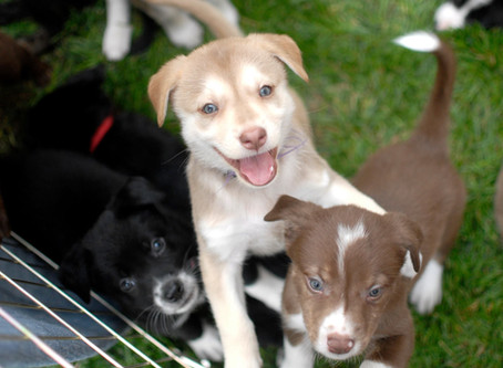 Should I adopt a puppy or adult dog?