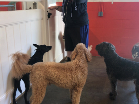 Daycare: Managing large groups of dogs
