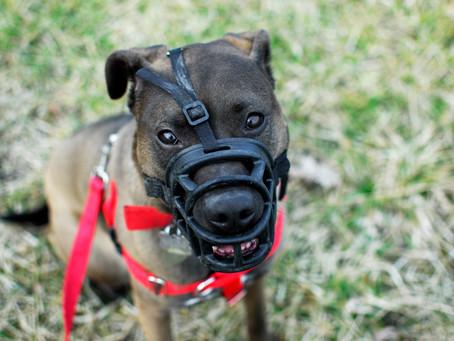 Staff dog: Armando