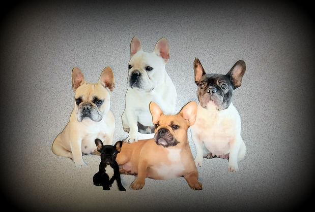 French Bulldogs Bulldog Puppies Breeder In Georgia Cream Pied